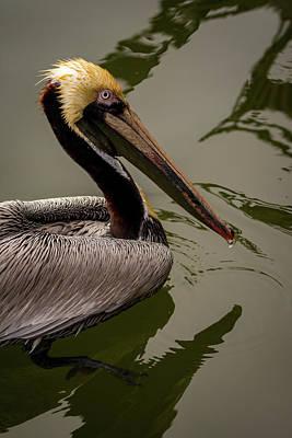 Photograph - Brown Pelican Series 3 Of 5 by Debra Martz