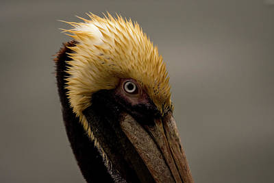 Photograph - Brown Pelican Series 4 Of 5 by Debra Martz