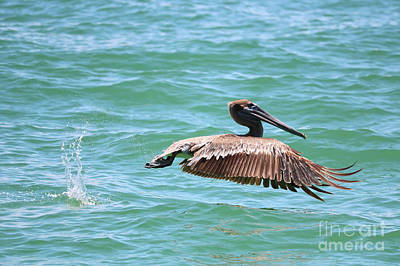 Photograph - Brown Pelican Splash by Carol Groenen