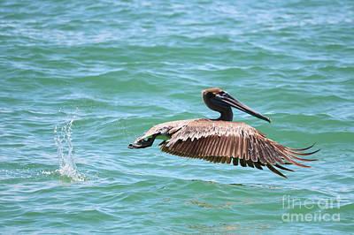Photograph - Brown Pelican Splash by Carol Groenen