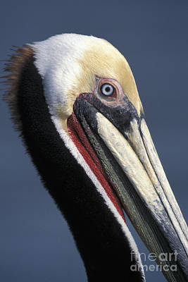 Photograph - Brown Pelican by Stan and Anne Foster