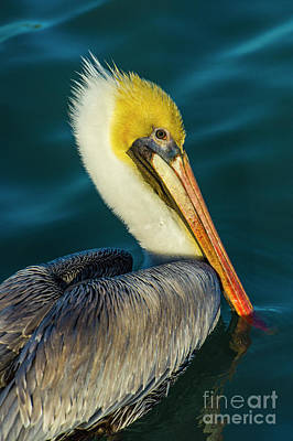 Photograph - Brown Pelican by Stefano Senise