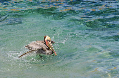 Photograph - Brown Pelican by Susan  McMenamin
