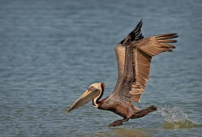 Splash Photograph - Brown Pelican Take Off by Susan Candelario