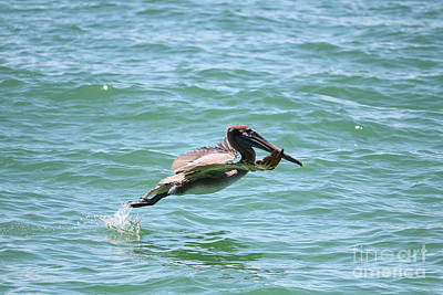 Photograph - Brown Pelican Takeoff by Carol Groenen