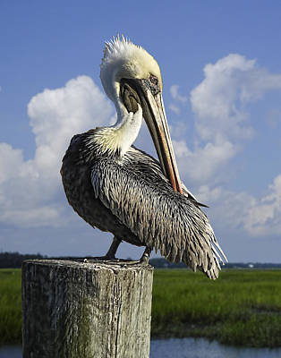 Photograph - Brown Pelican by Terry Shoemaker