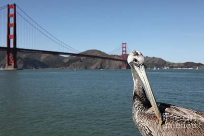 Photograph - Brown Pelican Torpedo Wharf Fising Pier Overlooking The San Francisco Golden Gate Bridge 5d21637 by San Francisco Art and Photography