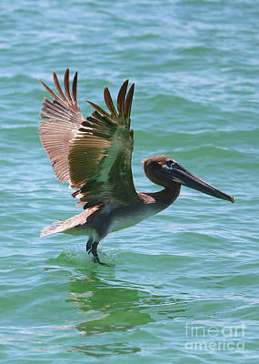 Photograph - Brown Pelican Touchdown by Carol Groenen