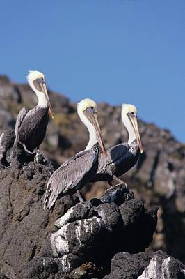 Brown Pelican Trio  Art Print by Don Kreuter