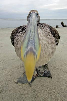 Brown Pelican Wide Angle Closeup Original