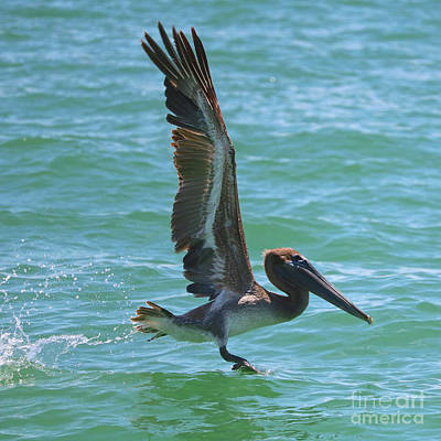 Photograph - Brown Pelican Wings And Splash by Carol Groenen