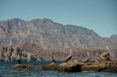 Photograph - Brown Pelicans And Cormorants In Sea Of Cortez by NaturesPix