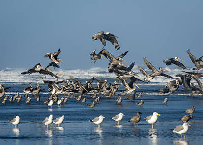 Photograph - Brown Pelicans And Gulls by Robert Potts