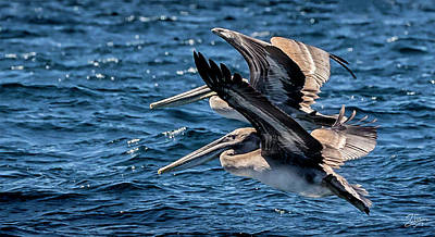 Photograph - Brown Pelicans by Endre Balogh