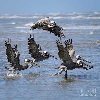 Photograph - Brown Pelicans Take Flight by Debra Martz