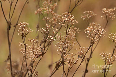 Photograph - Brown Plants In The Marsh by Carol Groenen