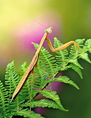 Photograph - Brown Praying Mantis by Carolyn Derstine