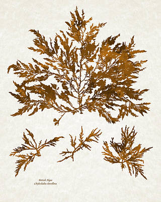 Mixed Media - Brown Seaweed Marine Art Chylocladia Clavellosa by Christina Rollo