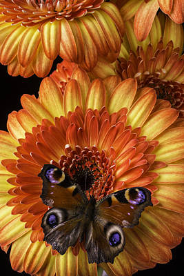 Gerbera Daisy Photograph - Brown Spoted Wing Butterfly by Garry Gay
