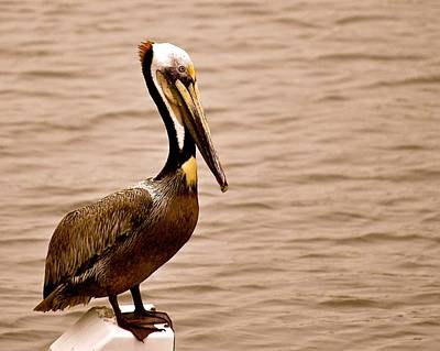 Photograph - Brown Texas Pelican by Kristina Deane