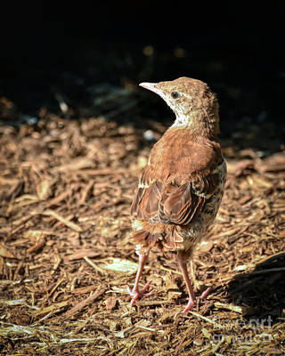 Christmas Christopher And Amanda Elwell Rights Managed Images - Brown Thrasher Baby   Royalty-Free Image by Kerri Farley
