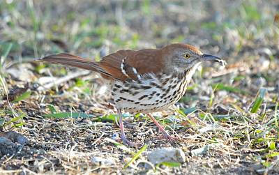 Photograph - Brown Thrasher by Bonfire Photography