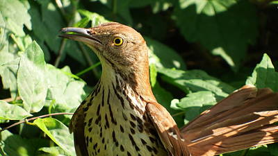 Photograph - Brown Thrasher  Closeup  by Cathy Harper