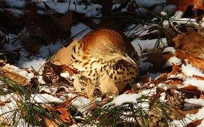 Photograph - Brown Thrasher Closeup by Joe Duket