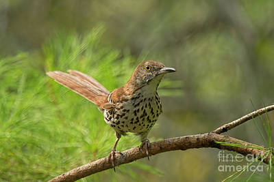 Photograph - Brown Thrasher by Deborah Benoit