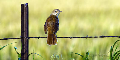 Photograph - Brown Thrasher by Don Durfee