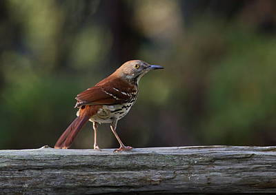 Photograph - Brown Thrasher Facing West by Daniel Reed