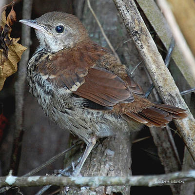 Mockingbird Digital Art - Brown Thrasher Fledgling by DigiArt Diaries by Vicky B Fuller