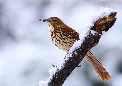 Photograph - Brown Thrasher In Snow by Daniel Reed
