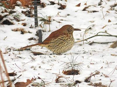 Photograph - Brown Thrasher In Snow by Joe Duket
