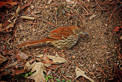 Photograph - Brown Thrasher by Joe Duket