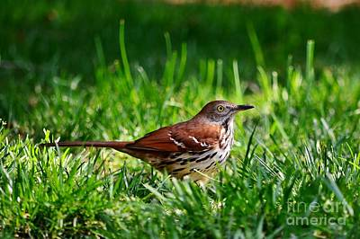 Photograph - Brown Thrasher by Kelly Nowak