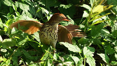 Photograph - Brown Thrasher On Alert by Cathy Harper