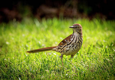 Photograph - Brown Thrasher by Phil Rispin