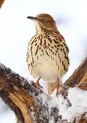 Photograph - Brown Thrasher With Snow  by Daniel Reed