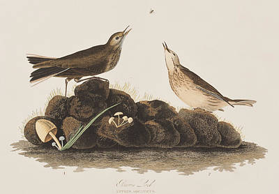 Brown Titlark Art Print by John James Audubon