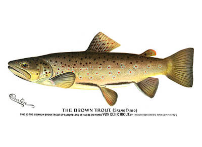 Trout Painting - Brown Trout by Mountain Dreams