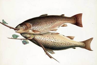 Brown Trout Drawing - Brown Trout by William Jardine