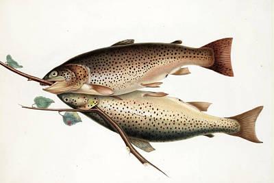 Brown Trout Art Print by William Jardine
