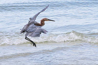Photograph - Brownish Heron by John Loreaux