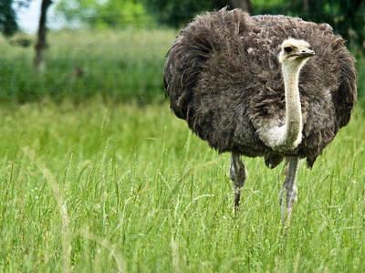 Ostrich Photograph - Browsing Ostrich by Douglas Barnett