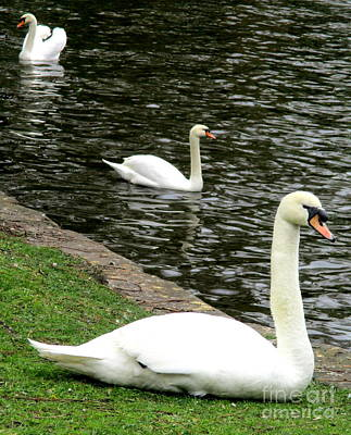 Photograph - Bruges Swans 1 by Randall Weidner
