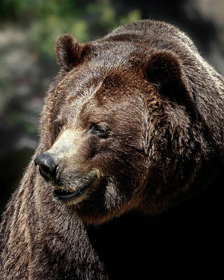 Photograph - Bruin Smile by Wes and Dotty Weber