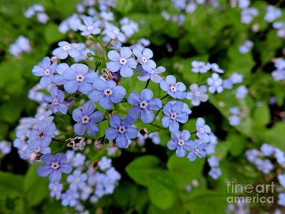 Photograph - Brunnera Macrophylla by Jodie Marie Anne Richardson Traugott          aka jm-ART