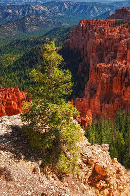 Photograph - Bryce Canyon - Pine Tree by Bob Coates