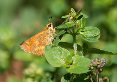 Photograph - Woodland Skipper Butterfly 5 by Marilyn Wilson